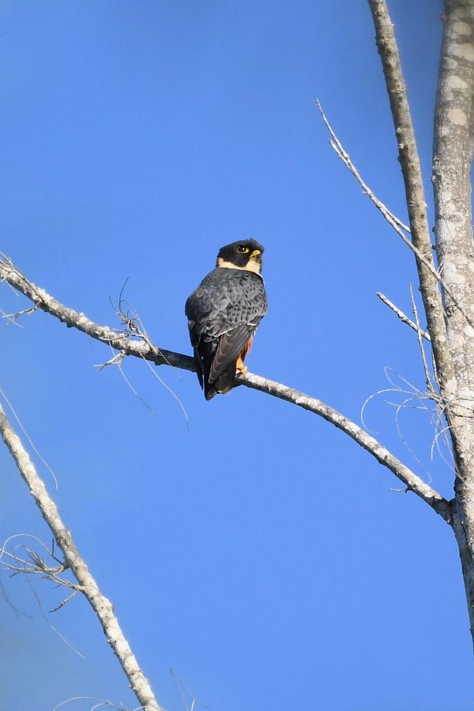 Bat Falcon, Sabal Beach, Belize