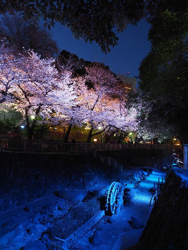 Cherry blossom|Tokyo city