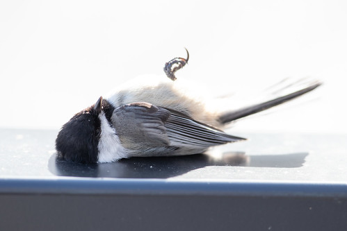 Window-killed Black-capped Chickadee