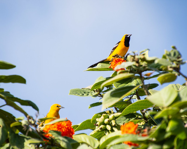 Hooded Oriole (male and female)