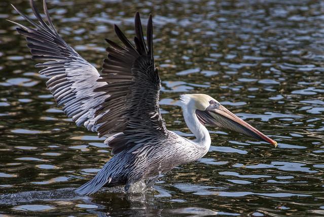 American Great Pelican, Lake Merritt Wildlife Sanctuary, Oakland, California USA