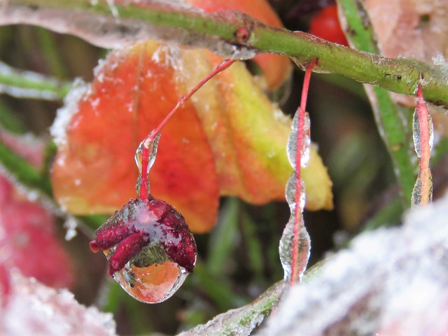 frozen berry and leaves in fall ice storm