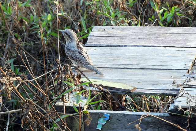 Fang, Th: Wryneck