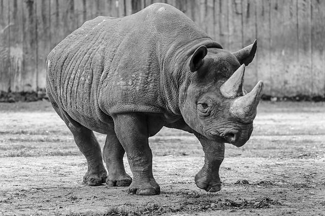 Rhino on the loose.