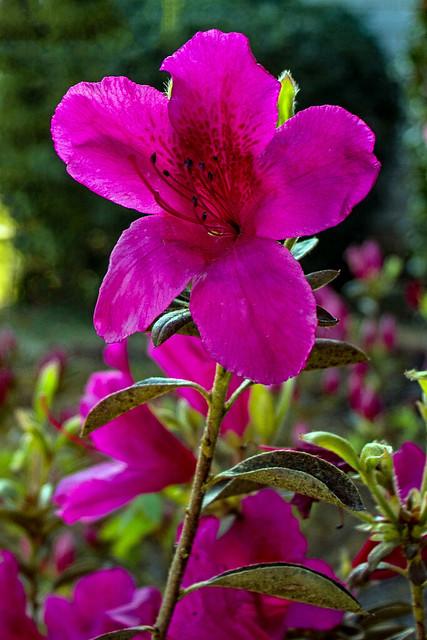 Pink Azalia Flower