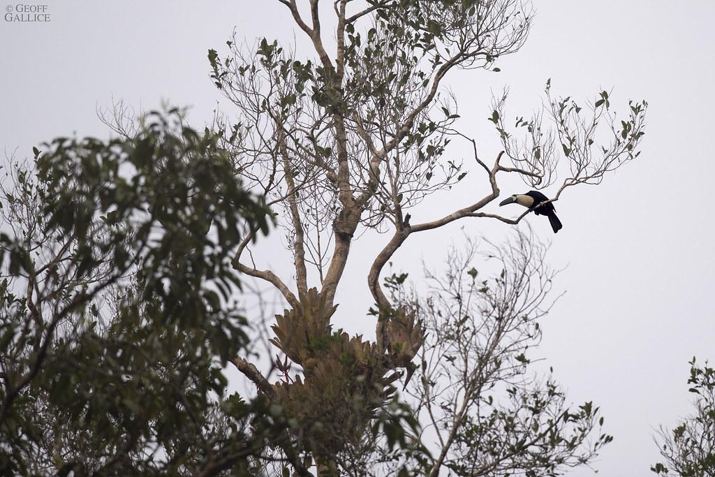 White-throated toucan (Ramphastos tucanus)