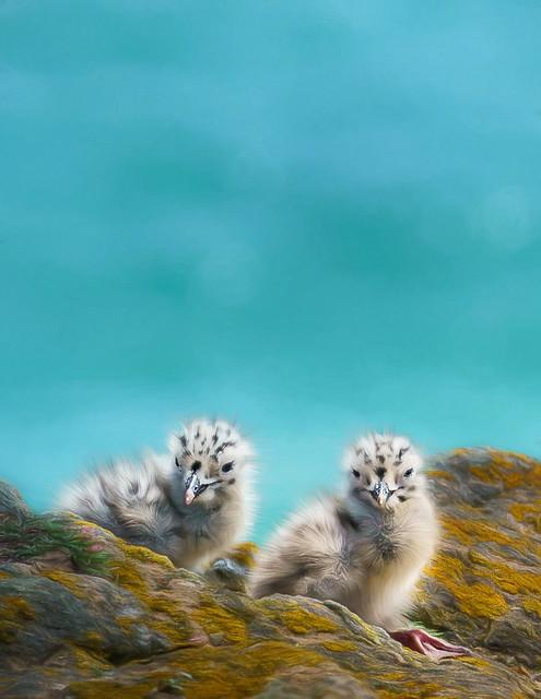 Sea gull chicks