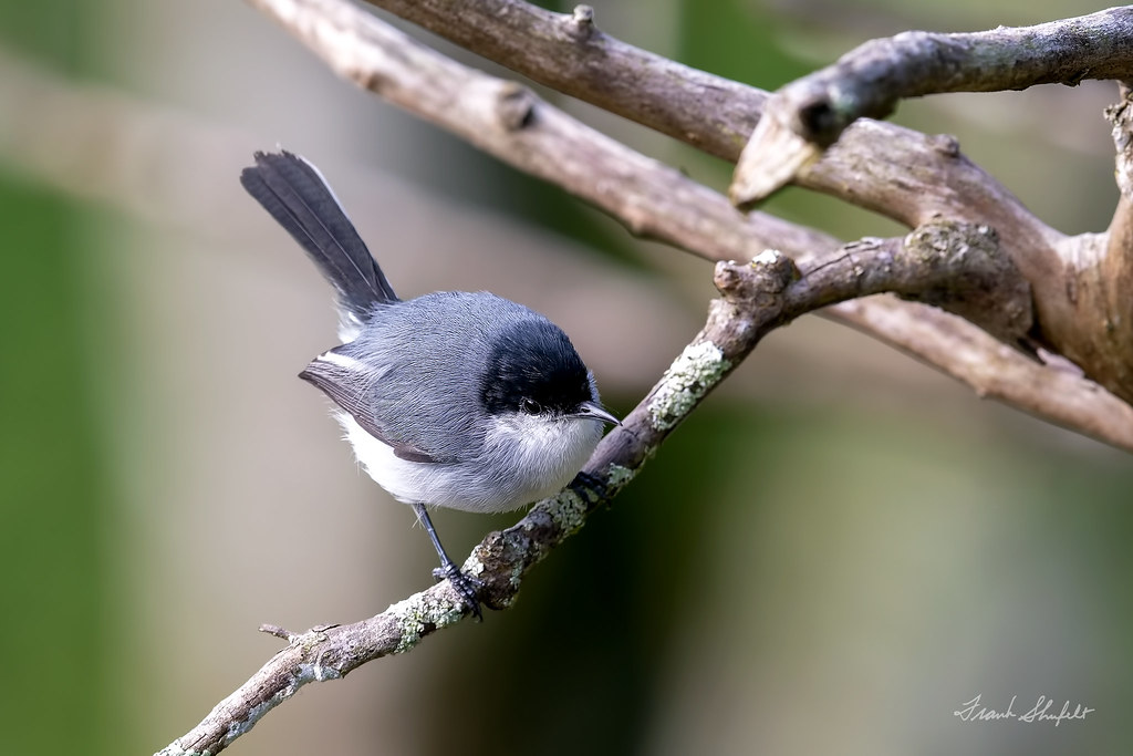 Male Tropical Gnatcatcher (Polioptila plumbea)