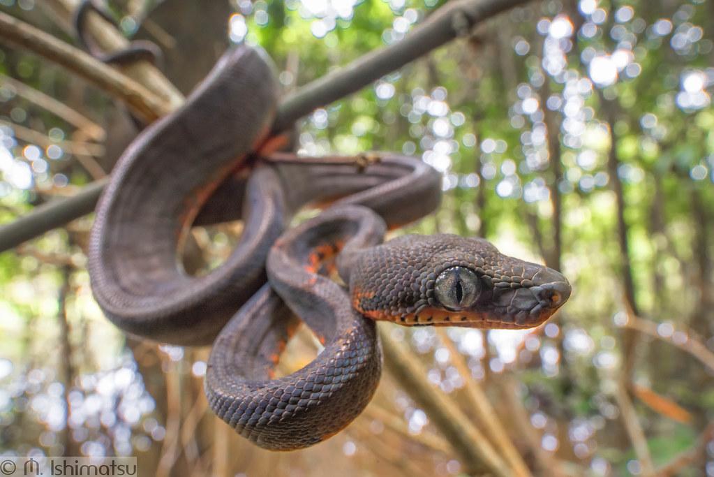 Amazon tree boa- Corallus hortulanus