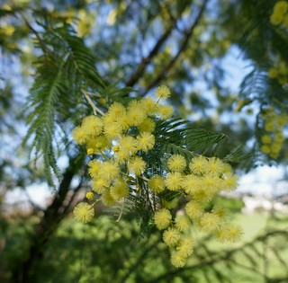 Au jardin, mimosa (acacia dealbata), Bosdarros, Béarn, Pyrénées Atlantiques, Aquitaine, France. | by byb64 (en voyage jusqu'au 30)