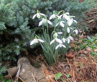 snowdrops | by piningforthewest