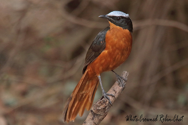 WHITE-CROWNED ROBIN-CHAT  //  COSSYPHA  ALBICAPILLA (27cm)