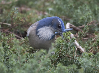 Scrub jay in the scrub | by woodwindfarm