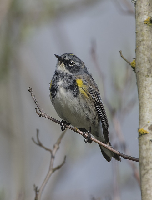 Yellow Rumped visitor