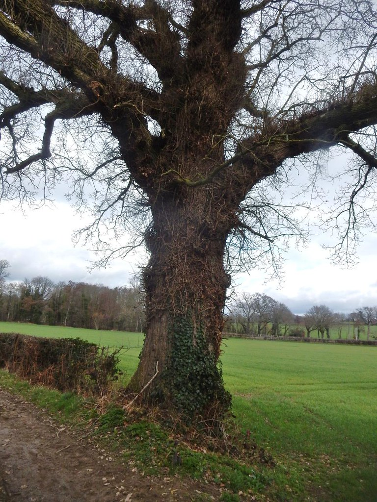 Big tree Robertsbridge circular