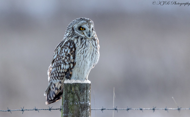 Short Eared Owl(Posted)