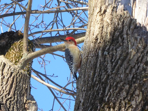 Red-bellied woodpecker | by Lorianne DiSabato