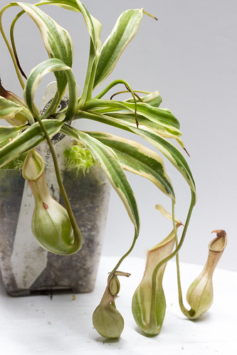 Nepenthes cf. graciliflora variegated