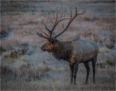 Bull Elk In Morning Light by Ron Szymczak Award & POM Color Prints Mar. 2019