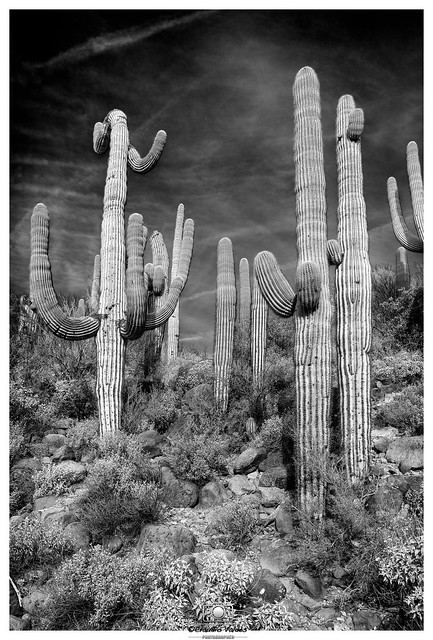 - Saguaros and the Sonoran Desert - (no. 2)