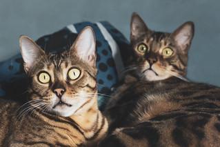 Gatos Bengalís | by Javi dpn