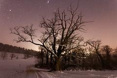 Wildenstein oak under a starry sky