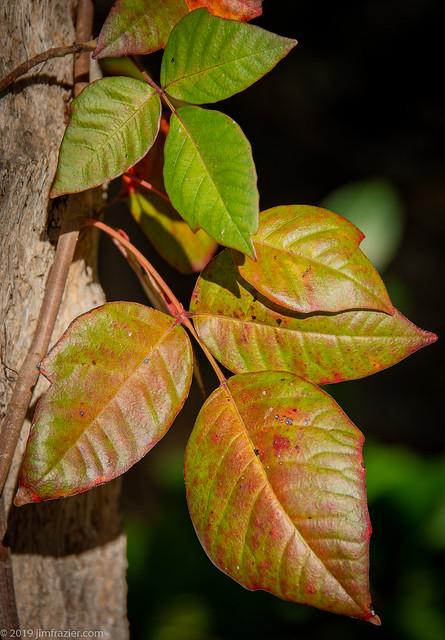 Poison Ivy at Ding Darling National Wildlife Refuge