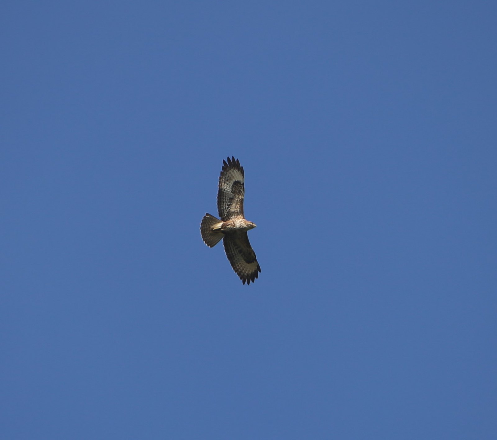 Buzzard over Hambleden