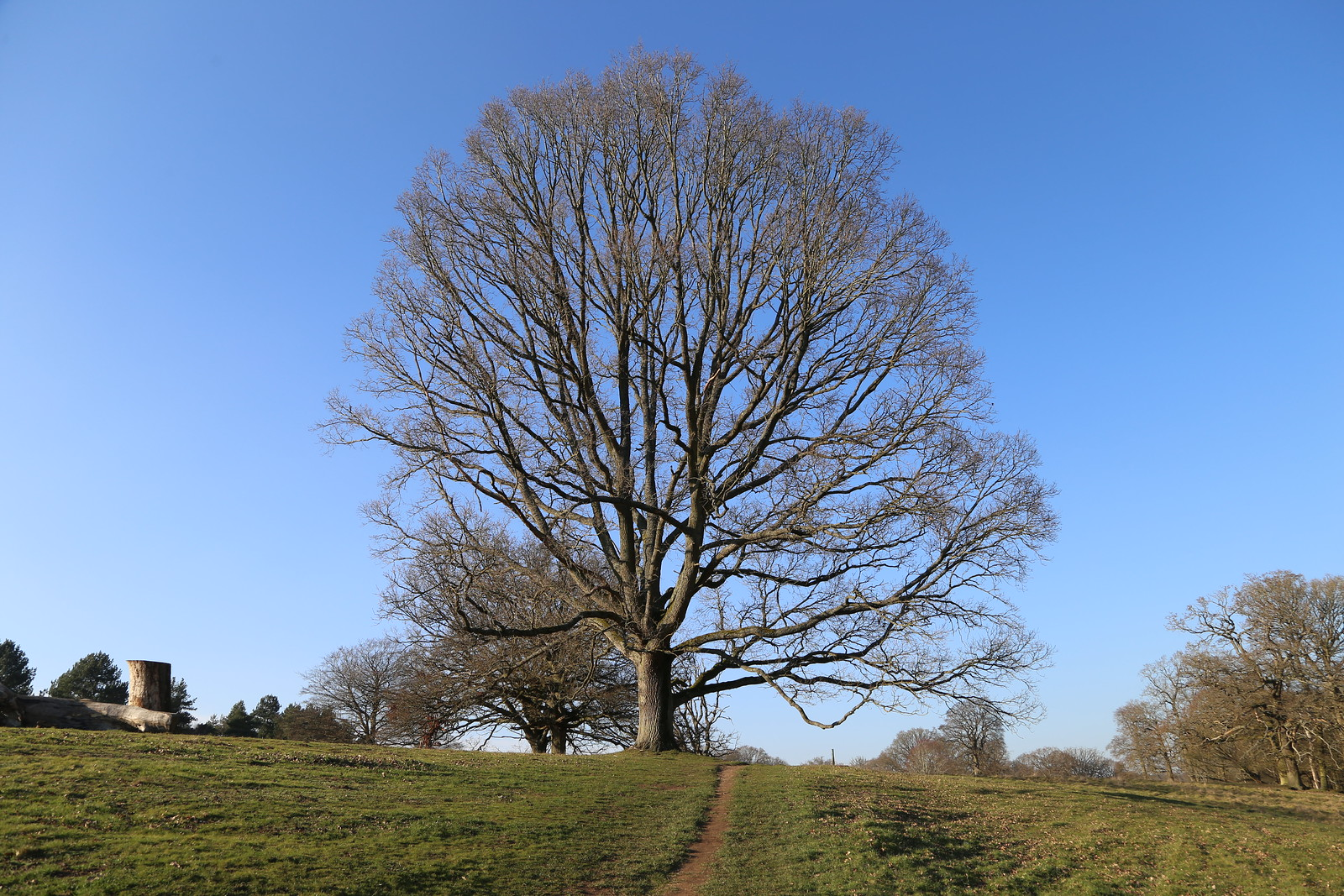 Majestic Oak - North of Henley