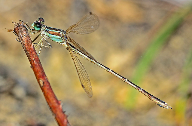 Southern Emerald Damselfly,Lestes barbarus,male.