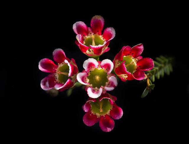 Large waxflower - Chamaelaucium megalopetalum