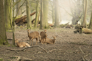 Five wild young deers in the spring sunny forest, Klampenborg Denmark   by breamchub