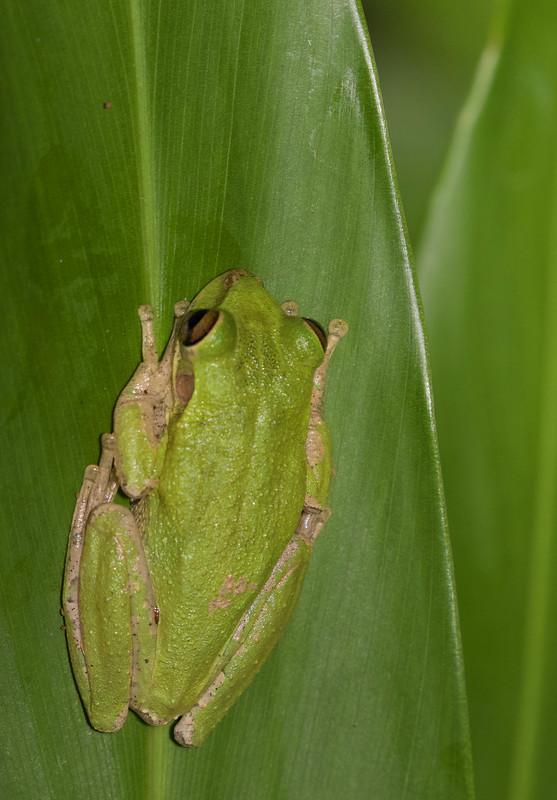 Tree Frog Ascanio_Cuba 199A5963