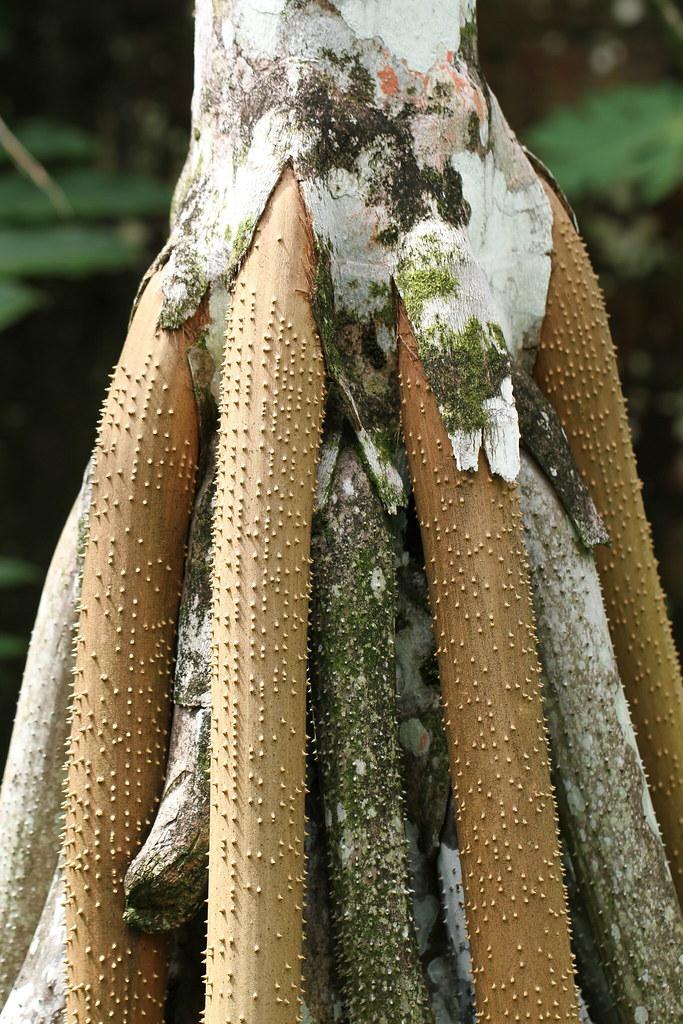 Socratea exorrhiza (Mart.) H.Wendl.