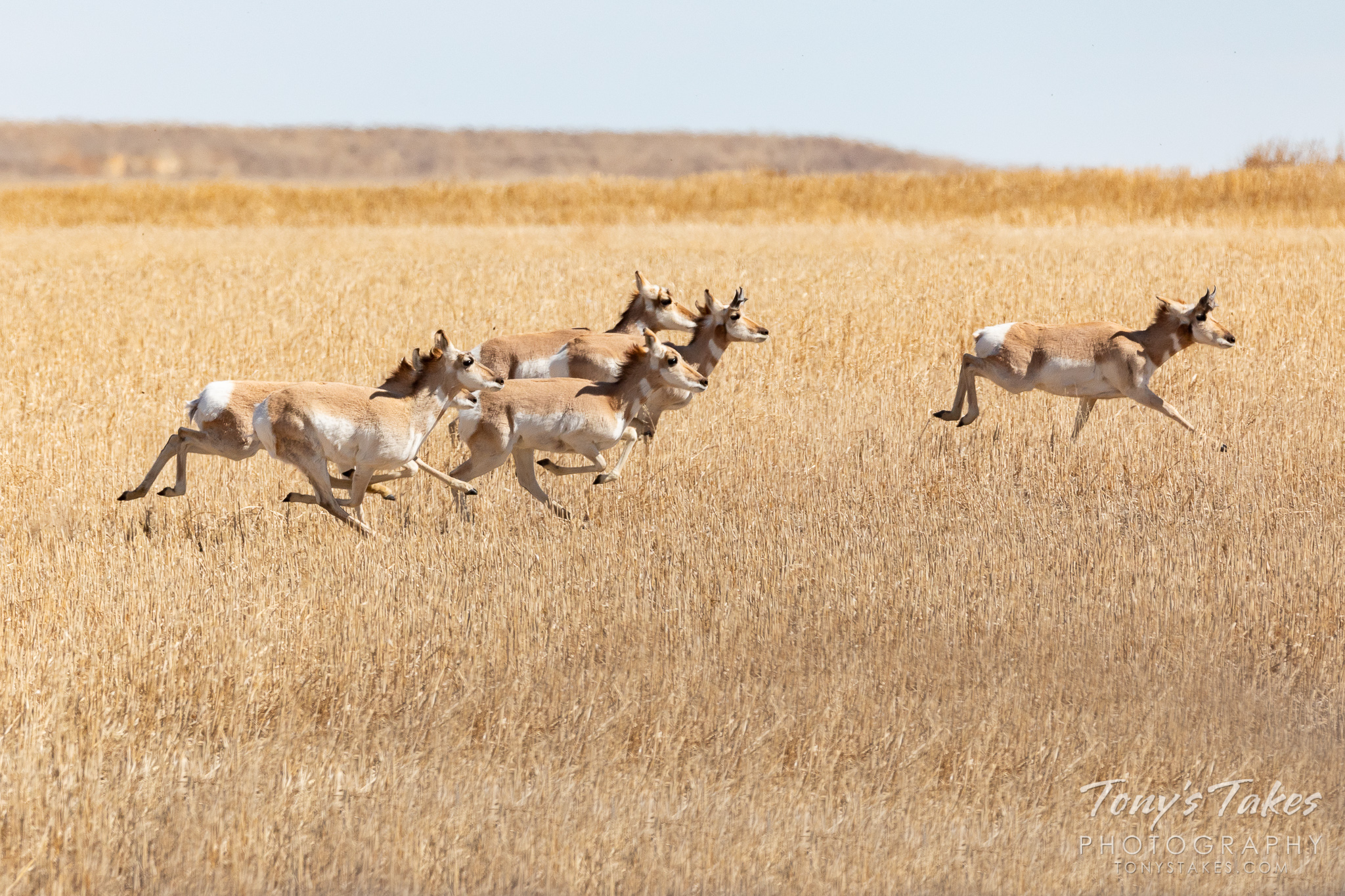 Pronghorn take off running across the eastern plains of Colorado. (© Tony's Takes)