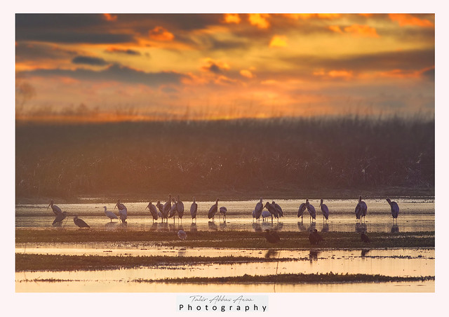 Painted stork at Sunrise
