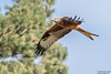 Red Kite, Milvus milvus by Kevin B Agar