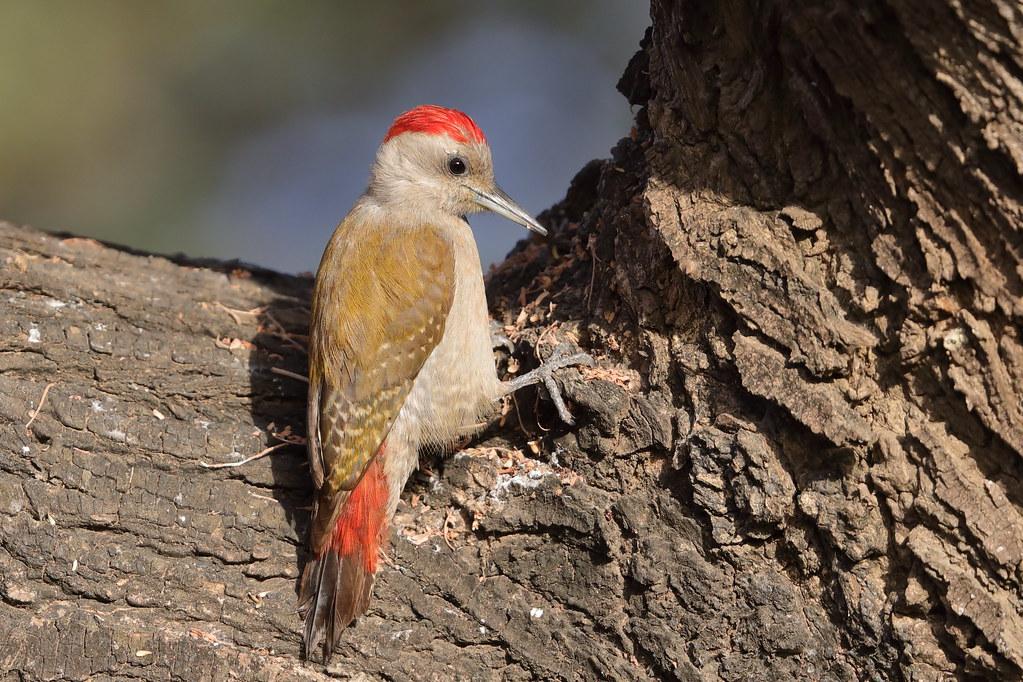 Grey Woodpecker Dendropicos goertae