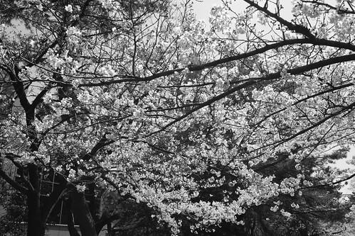 04-04-2019 Nishinomiya, Hyogo pref (26)