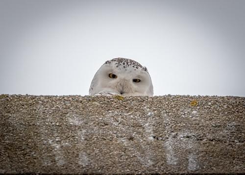 gooseberryisland bird westport massachusetts unitedstates us snowy owl animal willdlife