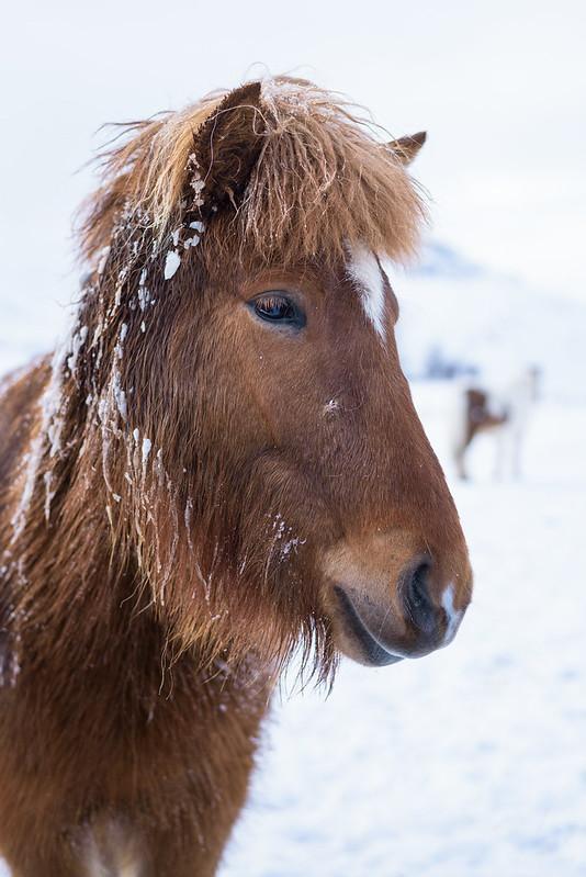 Portrait d'un Islandais
