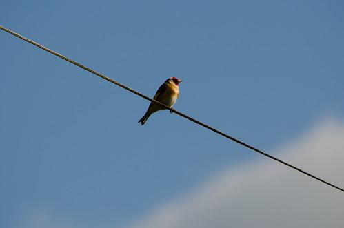 High wire goldfinch, Worfield