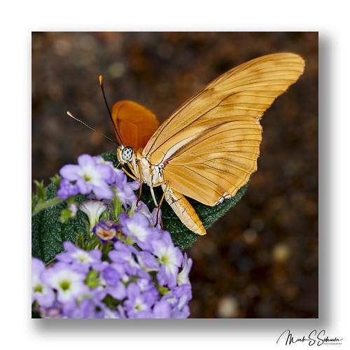 butterfly sohphiamsachsbutterflyhouse missouribotanicalgarden mbg chesterfield missouri nikon d850 85mmsigmaart