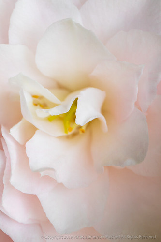 Pale Pink Camellia, 4.4.18   by pattyoboe