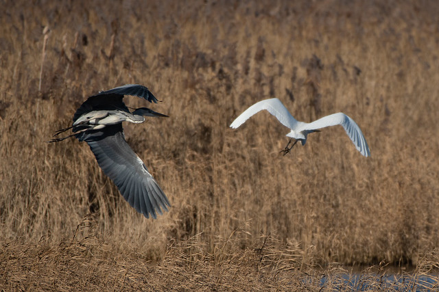 Heron Great white egret