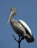 Spot-Billed Pelican by Aardwolf6886