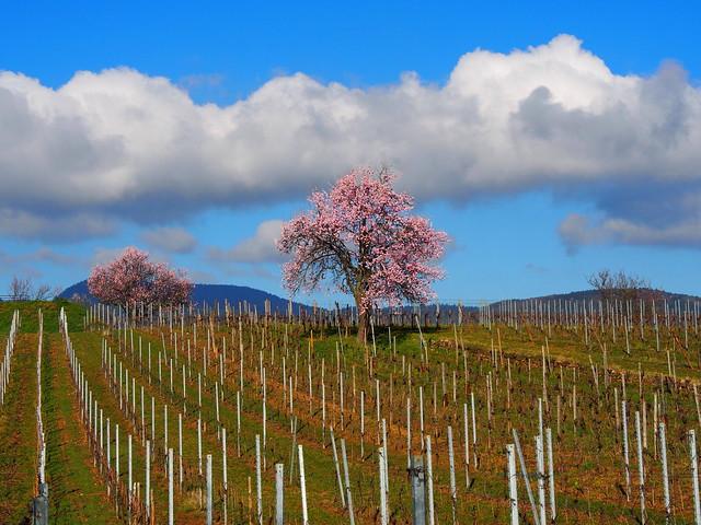 les amandiers de Mittelwihr (Alsace, F)- Almond trees ; Mandelbäume