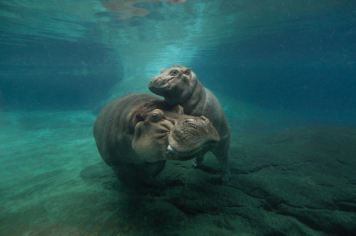 Happy Hippos | by San Diego Zoo Global