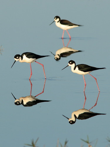 Black-necked Stilts 013-20190401