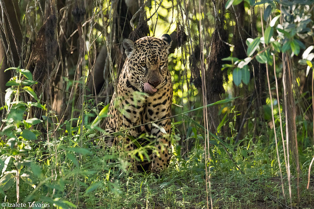 Onça-Pintada / Jaguar